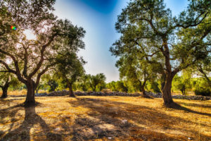 47455926 - grove of olive trees in salento in puglia in italy